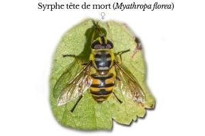 myathropa-florea