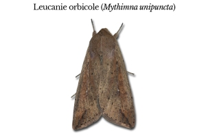 mythimna-unipuncta