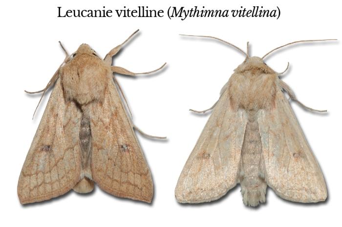 mythimna-vitellina