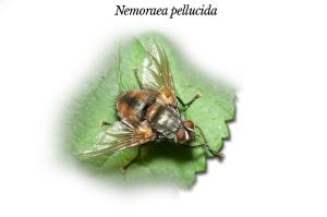 nemoraea-pellucida