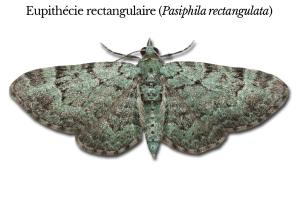 pasiphila-rectangulata