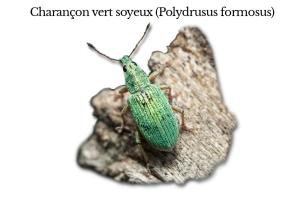 polydrusus-formosus