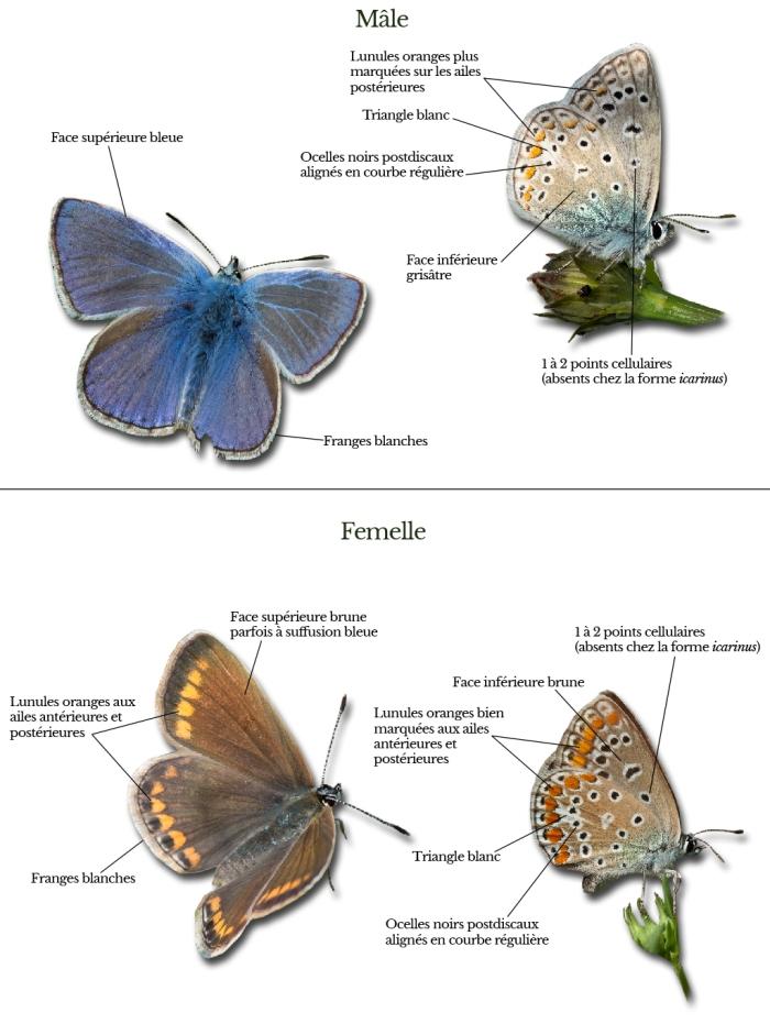polyommatus-icarus