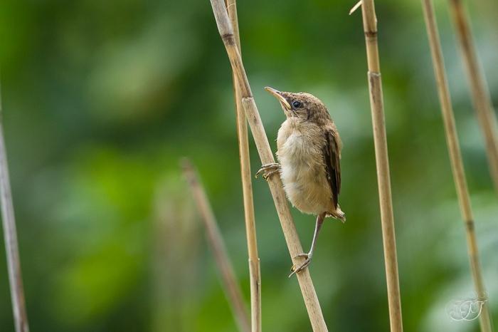 Rousserolle effarvattee-Réserve ornithologique du Teich 05.06.2015