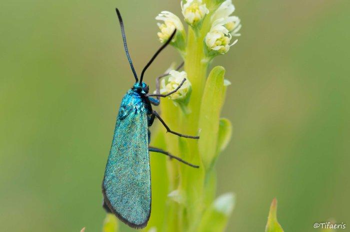 Turquoise (adscita) 2