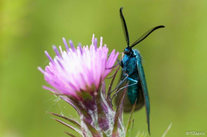 Turquoise (adscita) 6