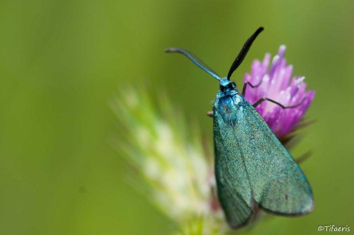 Turquoise (adscita) 7