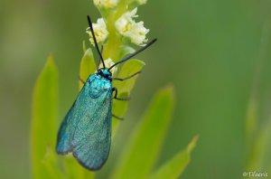Turquoise (adscita)