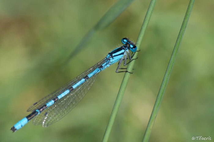 Agrion porte-coupe