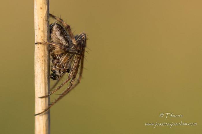 Épeire de velours (Agalenatea redii) ♂ 2