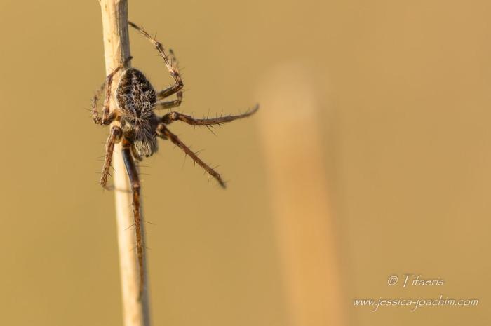 Épeire de velours (Agalenatea redii) ♂ 3