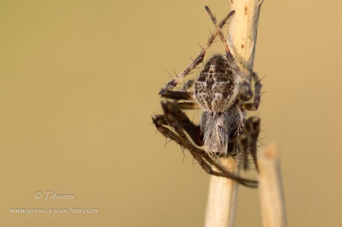 Épeire de velours (Agalenatea redii) ♂