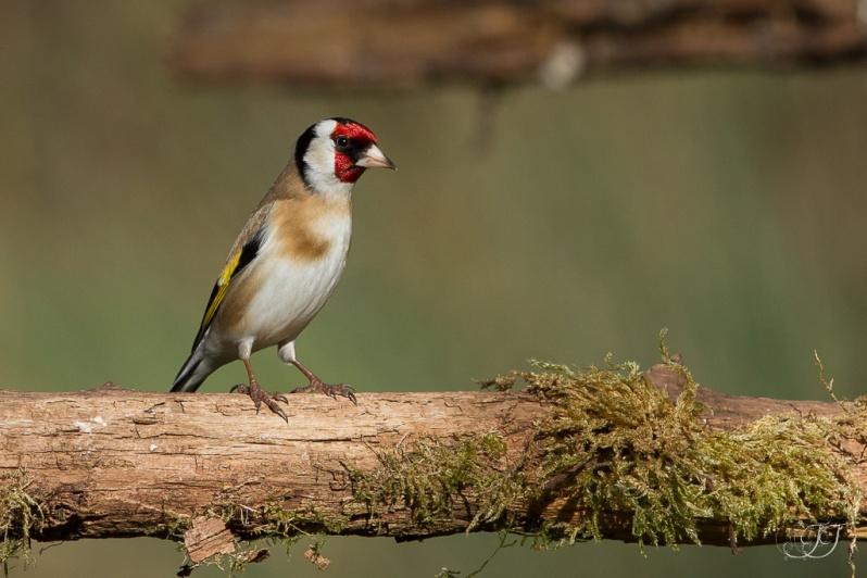 Chardonneret élégant-Domaine des oiseaux 06.02.2016