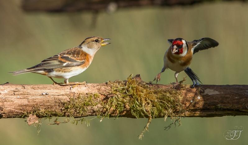 Chardonneret élégant et pinson du nord-Domaine des oiseaux 06.02.2016