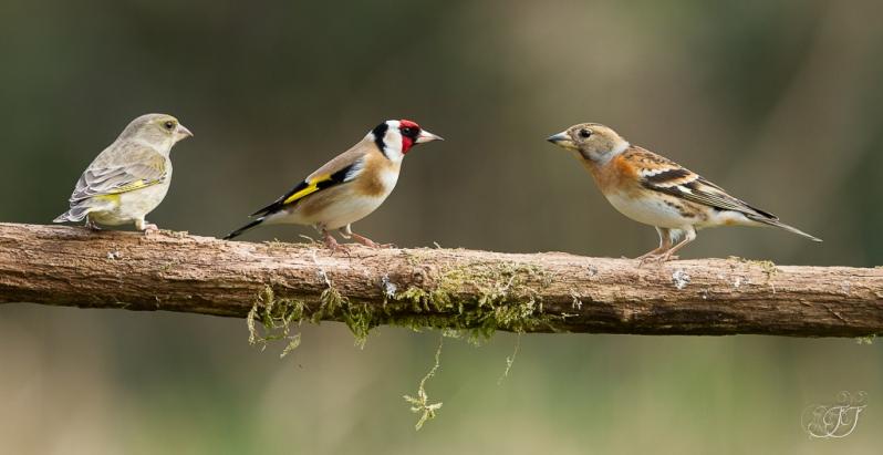 Chardonneret élégant, pinson du nord, verdier-Domaine des oiseaux 06.02.2016