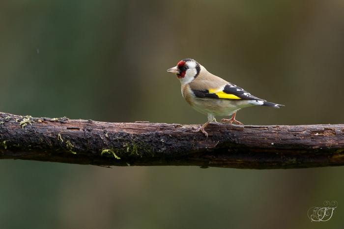 Chardonneret élégant-Domaine des oiseaux 05.03.2016