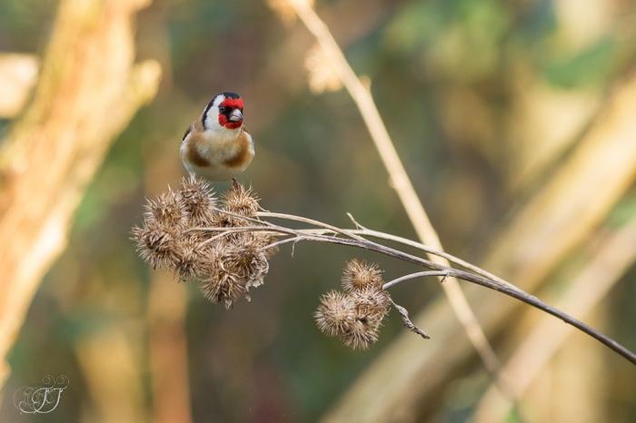 Chardonneret élégant-Domaine des oiseaux 17.01.2016