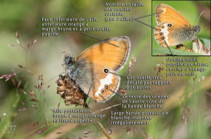 Coenonympha arcania-Récupéré