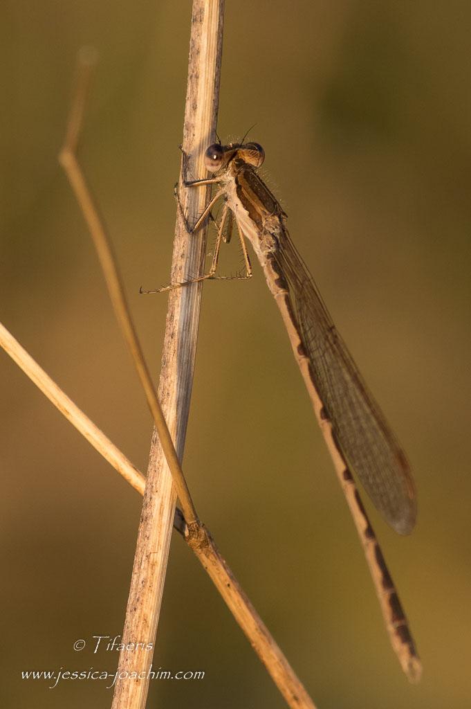 Leste brun (Sympecma fusca)