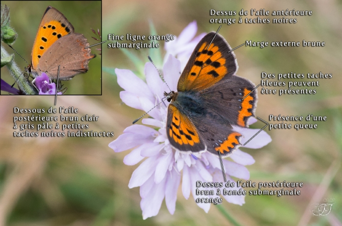 Lycaena phlaeas
