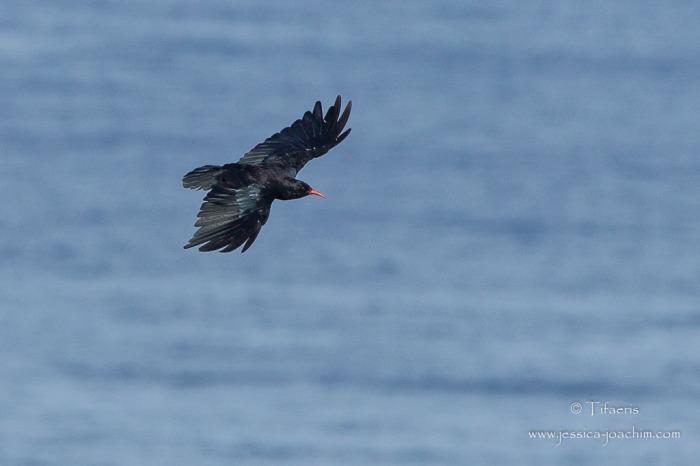 Crave à bec rouge-Bretagne, Cap Sizun, 09.08.2014