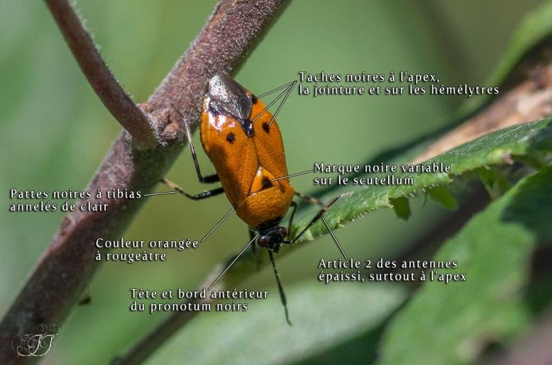 Deraeocoris punctum