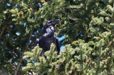 Grand corbeau 3