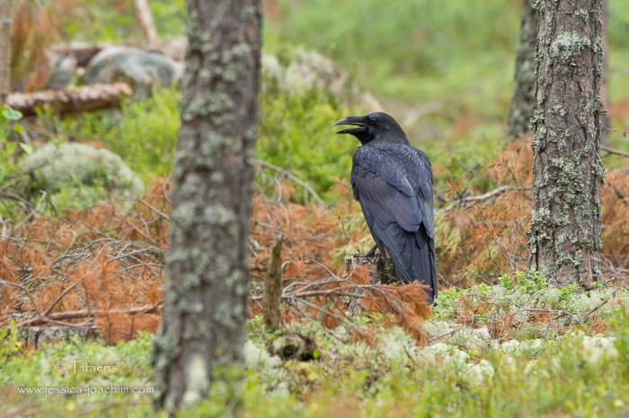 Grand corbeau-Östa 05.08.2015