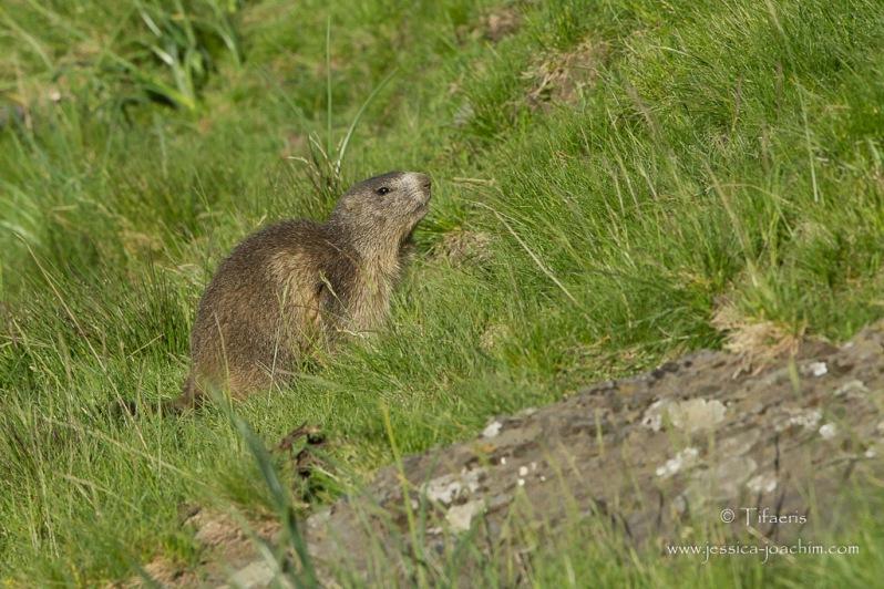 Marmotte des Alpes-Col du Tourmalet 29.06.2015