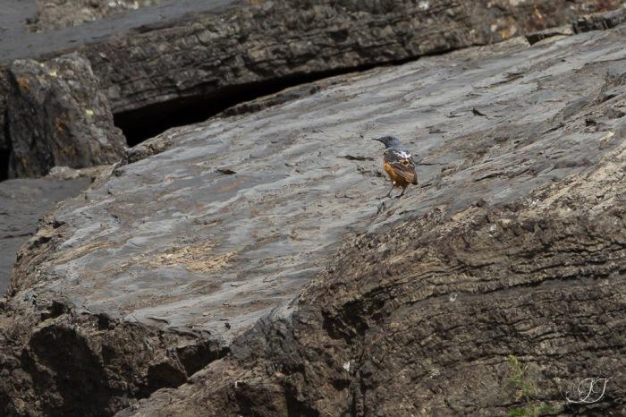 Monticole de roche-Col du Tourmalet 24.07.2016
