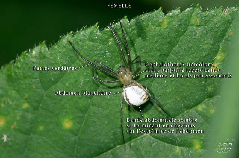 Neriene emphana