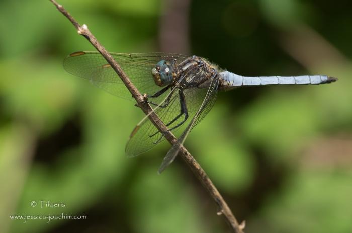 Orthétrum bleuissant-Domaine des oiseaux 04.07.2015