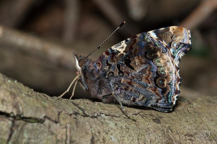 Papillon-20.04.2016