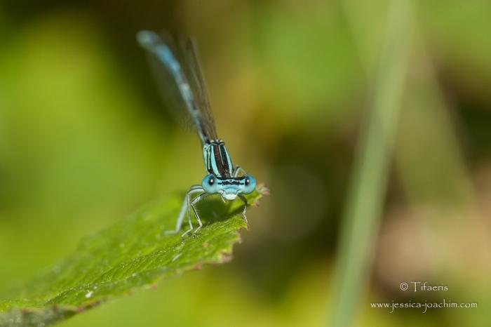 Pennipatte bleuâtre-Domaine des oiseaux 12.07.2015