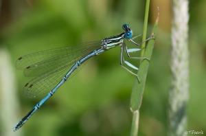Pennipatte bleuâtre ♂