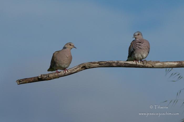 Tourterelle des bois-Domaine des oiseaux 02.05.2015