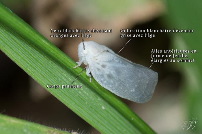 Cicadelle pruineuse