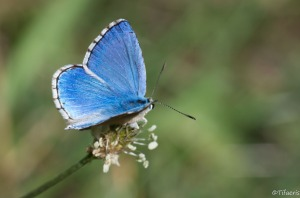 Argus bleu céleste 2