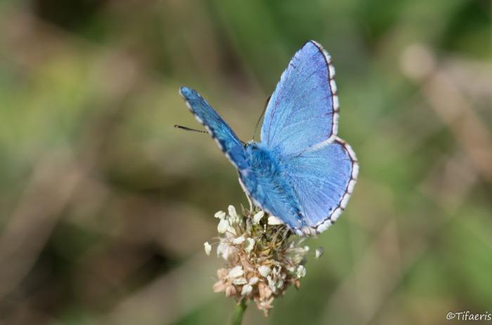 Argus bleu céleste 3
