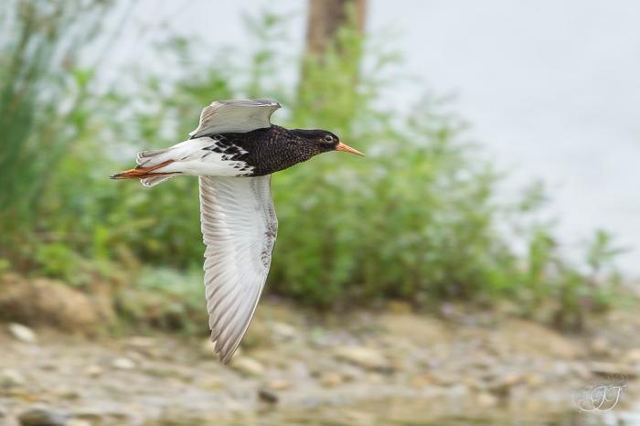 Combattant varié-Domaine des oiseaux 11.06.2016
