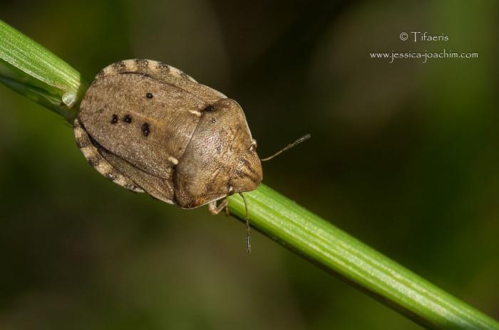 Eurygaster