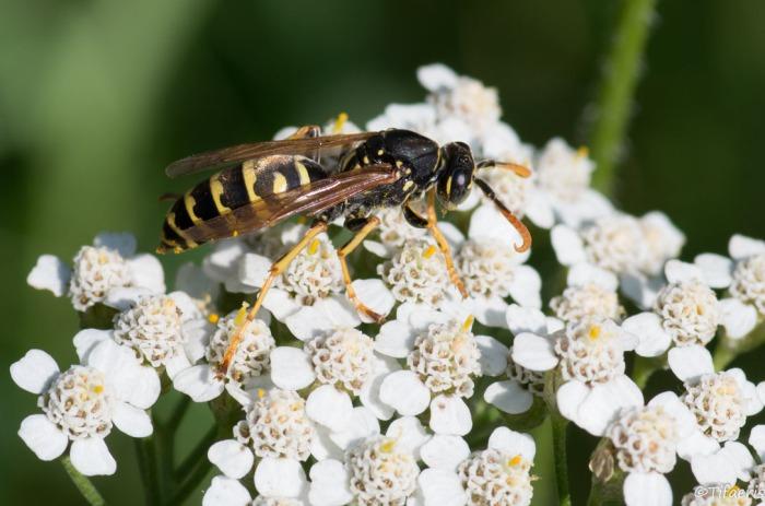 Poliste gaulois (Dominucus-Gallicus) ♂ 2