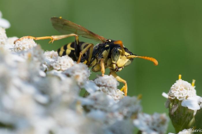 Poliste gaulois (Dominucus-Gallicus) ♂ 3