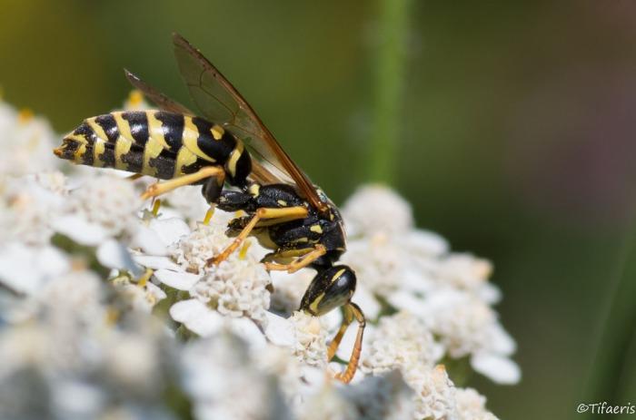 Poliste gaulois (Dominucus-Gallicus) ♂ 5
