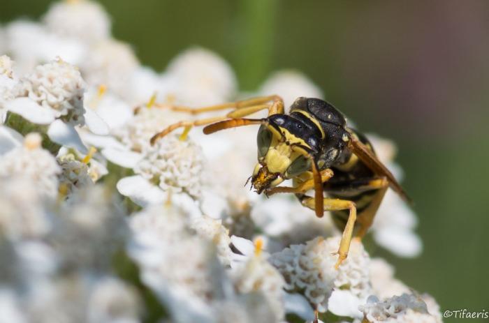 Poliste gaulois (Dominucus-Gallicus) ♂ 7