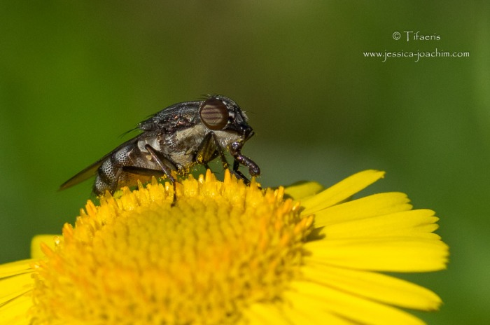 Stomorhina lunata-Domaine des oiseaux 31.08.2014