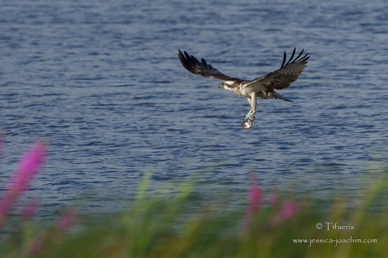 Balbuzard pêcheur-Hornborgasjön 18.08.2015