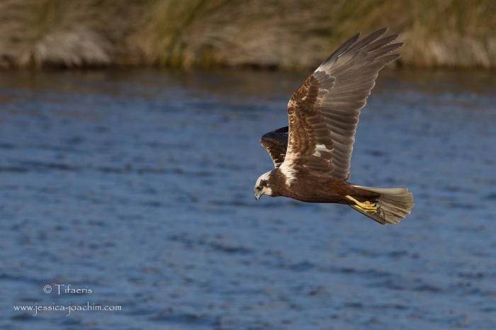 Busard des roseaux-Réserve ornithologique du Teich 21-22.02.2015