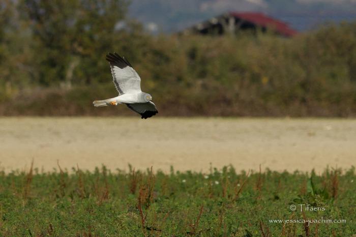 Busard Saint-Martin-Ariège 02.11.2014
