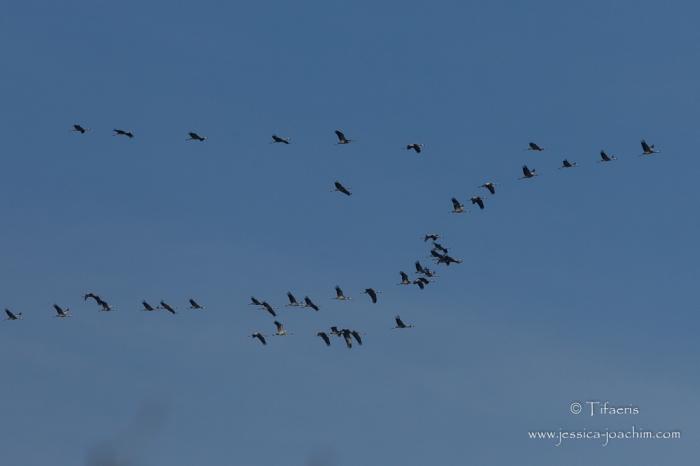 Grues cendrées-Parc ornithologique de pont de Gau 08.03.2015